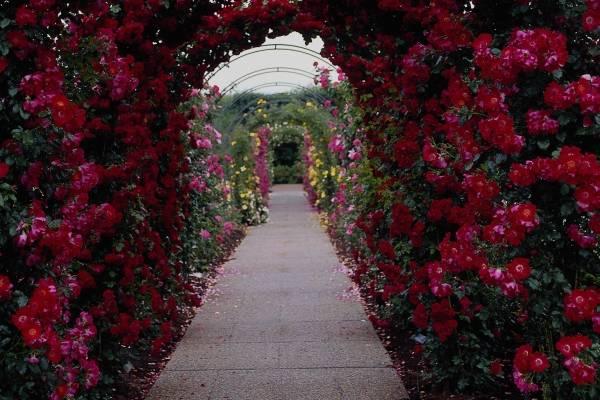 Büyük Çiçekli Sarmaşık Gül